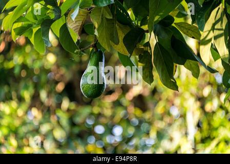 Avocado Hanging Growing Grow Green Closeup Background Texture In On Tree Bokeh Fruit Food Organic Natural Hawaii copyspace