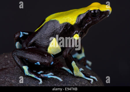 Dyeing dart frog / Dendrobates tinctorius - Stock Photo