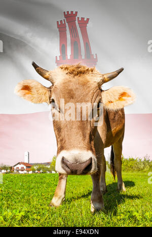 Cow with flag on background series - Gibraltar - Stock Photo