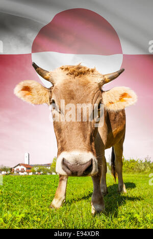 Cow with flag on background series - Greenland - Stock Photo