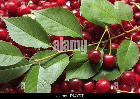 freshly picked sour cherries - Stock Photo