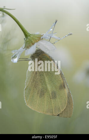 Large White (Pieris brassicae), Germanny - Stock Photo