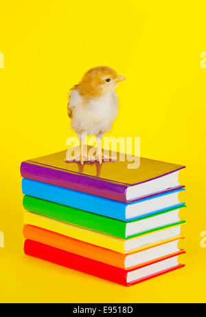 Small baby chicken on a stack of books - Stock Photo
