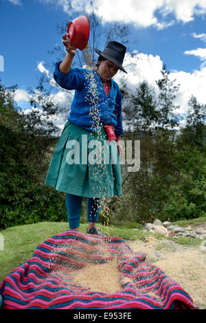 Woman wearing traditional costume drying wheat grains in the wind, Chuquis, Huanuco Province, Peru - Stock Photo
