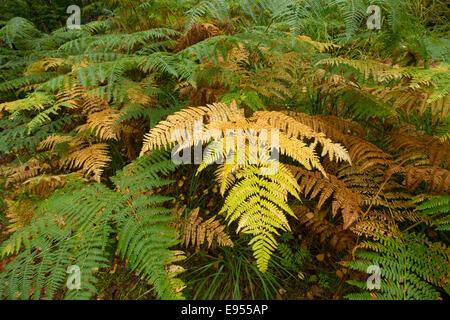 Bracken (Pteridium aquilinum), Darss, Western Pomerania Lagoon Area National Park, Mecklenburg-Vorpommern, Germany - Stock Photo