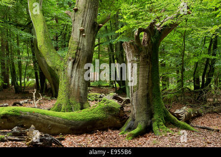 Old beech forest (Fagus sylvatica), Darss, Western Pomerania Lagoon Area National Park, Mecklenburg-Vorpommern, - Stock Photo
