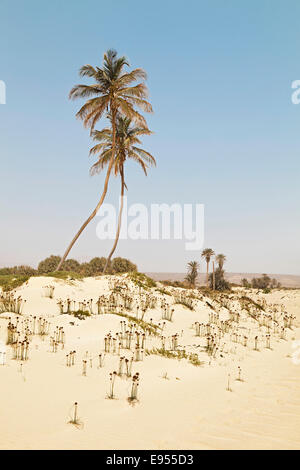 Two palm trees and grown over dunes on Praia de Curral Velho Beach in the south of the island of Boa Vista, Cape - Stock Photo