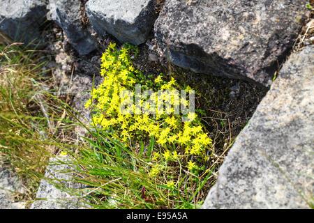 The yellow flowers of the Biting Stonecrop (Sedum acre) wildflower - Stock Photo