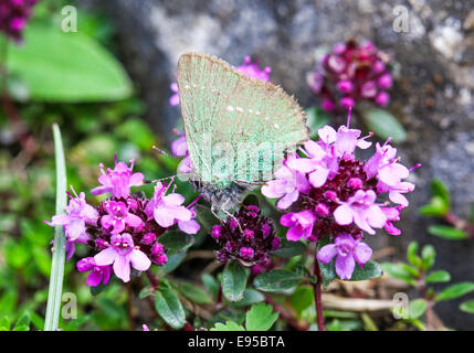 A Green Hairstreak butterfly (Callophrys rubi) on pink flowers - Stock Photo