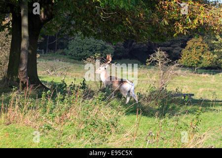 Fallow deer buck, Dama dama, in Stainborough Parkland, Barnsley, South Yorkshire, England, UK. - Stock Photo