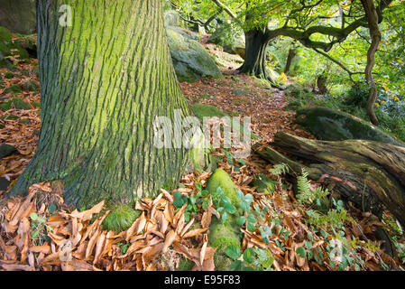 Tree trunk with textured bark. A mature Sweet Chesnut tree in the Peak District in autumn. - Stock Photo