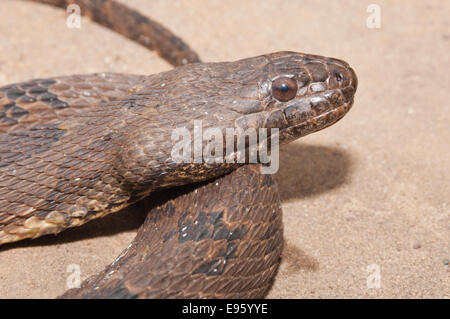 Brown water snake, Nerodia taxispilota, endemic to southeastern United States - Stock Photo