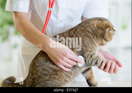 Veterinary doctor pet checkup with stethoscope in clinic - Stock Photo
