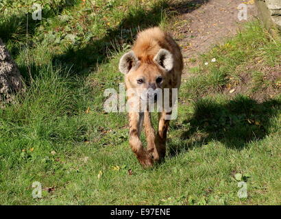 Walking African Spotted or laughing hyena (Crocuta crocuta) in close-up - Stock Photo