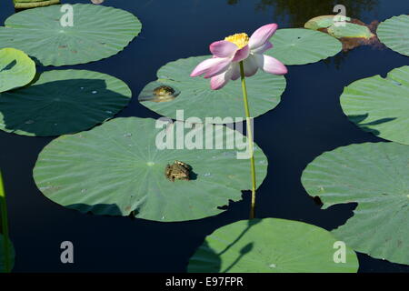 Two frogs on lotus leaves and a pink flower in the pond - Stock Photo