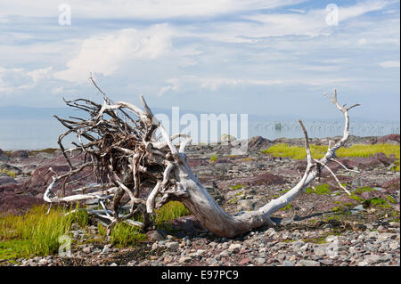 Dead tree on the rocky shores of St Lawrence river near Kamouraska, province of Quebec, Canada. - Stock Photo