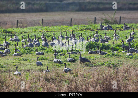Pink-footed Geese (Anser brachyrhynchus).  'Grass greener on nearer side of the fence'. Vegetation is indicative - Stock Photo