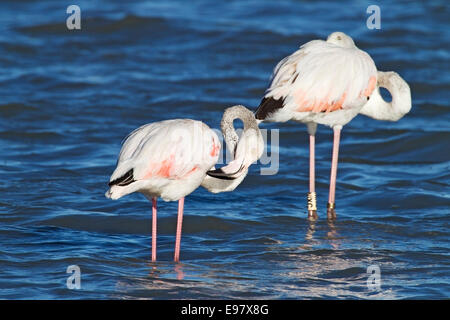 greater flamingo (Phoenicopterus roseus) two adults standing in shallow water, Camargue, France, August 2014 - Stock Photo