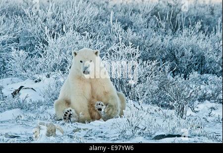 Polar Bear, Ursus maritimus, sitting among wiilows in the frost, near Hudson Bay, Cape Churchill, Manitoba, Canada - Stock Photo