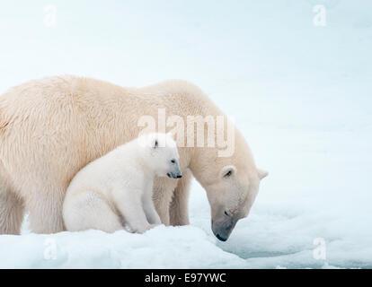 Polar Bear Mother with Cub close beside her, Ursus maritimus, Olgastretet Pack Ice, Spitsbergen, Svalbard Archipelago, - Stock Photo