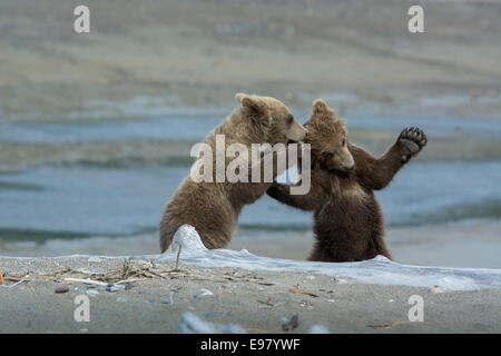 Two Grizzly Bear Spring Cubs, Ursus arctos, playing, with the appearance of whispering a secret, Cook Inlet, Alaska, - Stock Photo