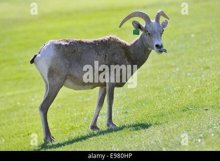 Las Vegas, Nevada, USA. 21st Oct, 2014. A Desert Bighorn sheep appears at Hemenway Park in Boulder City, Nevada - Stock Photo