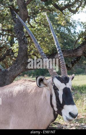 Gemsbok at Natural Bridge Wildlife Ranch, San Antonio, Texas.