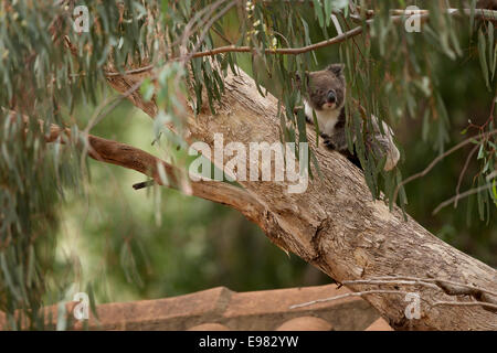 Koala active in gumtree - Stock Photo