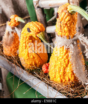 Animal shaped Pumpkins in a row on an old wooden plate - Stock Photo