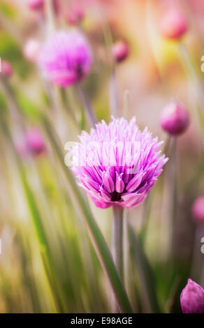 Fresh pink chive flowers growing in the garden on a herb plant used in cooking as a garnish and seasoning with its - Stock Photo