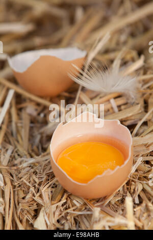 Bright colourful yellow egg yolk in a broken eggshell standing in a bed of fresh clean straw on a farm - Stock Photo