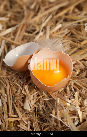 High angle view of a fresh yellow egg yolk in an eggshell nestling in clean straw in a farmyard with a chicken feather - Stock Photo