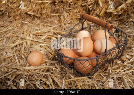 Collecting fresh farm eggs in a wire mesh basket on a bed of fresh clean straw with copyspace - Stock Photo