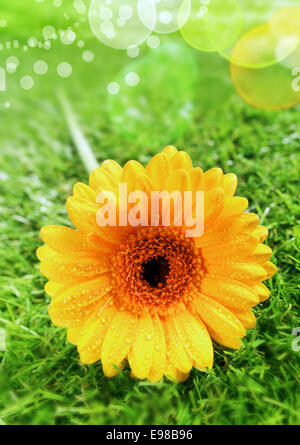 Beautiful yellow gerbera daisy with water droplets from dew or rain beading the petals and a sparkling bokeh from - Stock Photo