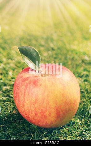 Freshly harvested single red apple with one leaf lying on green grass in the warmth of a glowing sunburst with rays - Stock Photo