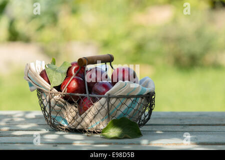 Wire basket of freshly picked red plums nestling in a folded napkin on display on an outdoor wooden table at a farmers - Stock Photo