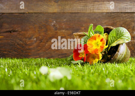 Upended flower pot with colourful orange flowers lying on its side on a neatly trimmed green lawn against a wooden - Stock Photo