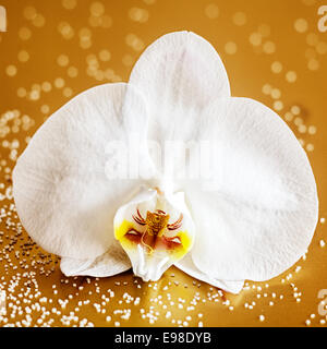 Closeup of a single beautiful white phalaenopsis orchid on a reflective brown background in square format - Stock Photo