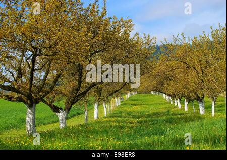 Wachau Marillenbaeume - Wachau apricot trees 04 - Stock Photo