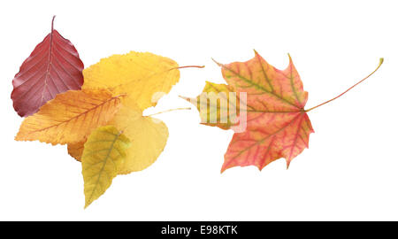 Still Life of Collection of Autumn Leaves on White Background - Stock Photo
