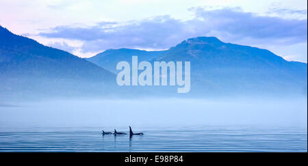 Three Killer whales in mountain landscape at Vancouver Island, whale watching - Stock Photo