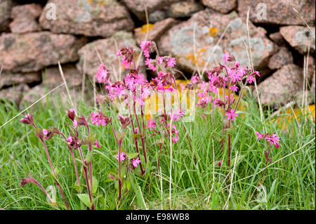 red campion flowers amongst the grass in front of a dry stone wall on the coast path from Bullers of Buchan in Aberdeenshire - Stock Photo
