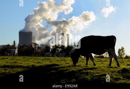 Cattles on meadow in front of the Niederaussem power plant in Bergheim-Niederaussem in North Rhine-Westphalia, 18.10.2014. The lignite-fired power station belongs to RWE Power.