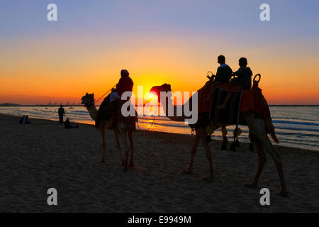 Ride camels at sunset on the Jumeirah beach in Dubai. - Stock Photo