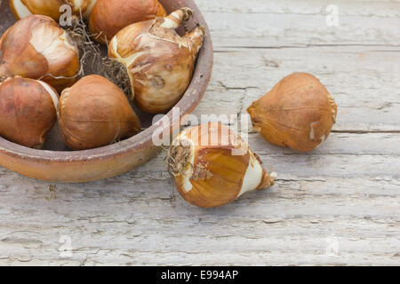 bowl with flower bulbs - Stock Photo