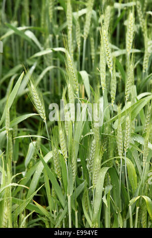 An early morning view of rain drops on stalks of wheat growing in a wheat field. - Stock Photo