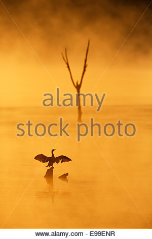 Double-Crested Cormorant (Phalacrocorax auritus) Drying wings at sunrise in fog - Stock Photo