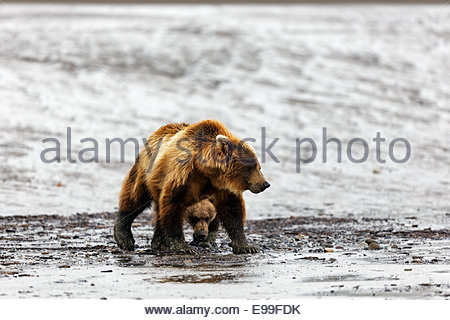 Brown Bear (Grizzly Bear) (Ursus arctos) Adult female and one old cub walking on mud flats in Alaska - Stock Photo