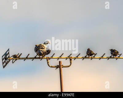 Female Wild Pigeon [Columba] perched on a TV Aerial accompanied by two Starling. - Stock Photo