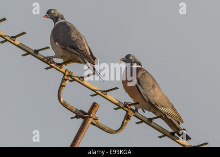 Male and Female Wild Pigeon [Columba] perched on a TV Aerial during courtship. - Stock Photo